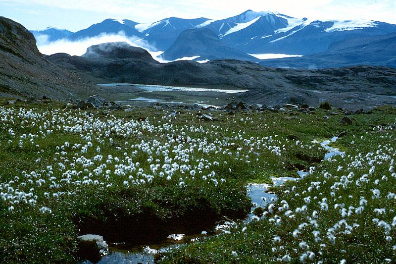 Lush tundra vegetation...