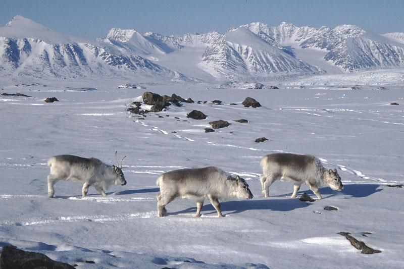 [Image: 08-01-reindeer-snow.jpg]
