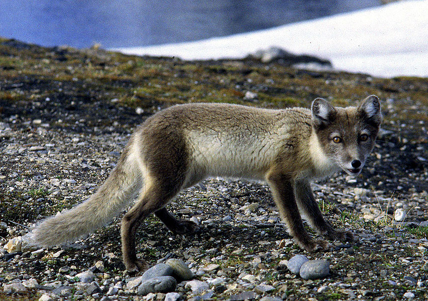 Tundra Arctic Fox In Summer SwissEduc - Gla...